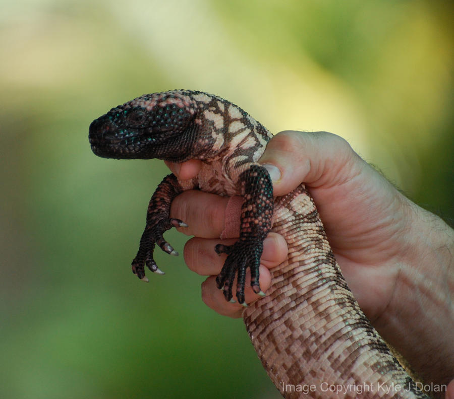 Gila Monster by Focus-Fire