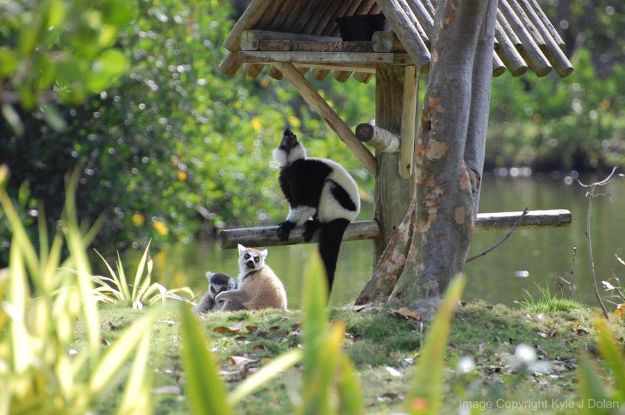 Lemurs Again by Focus-Fire