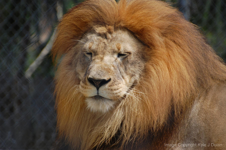Smiling Lion by Focus-Fire