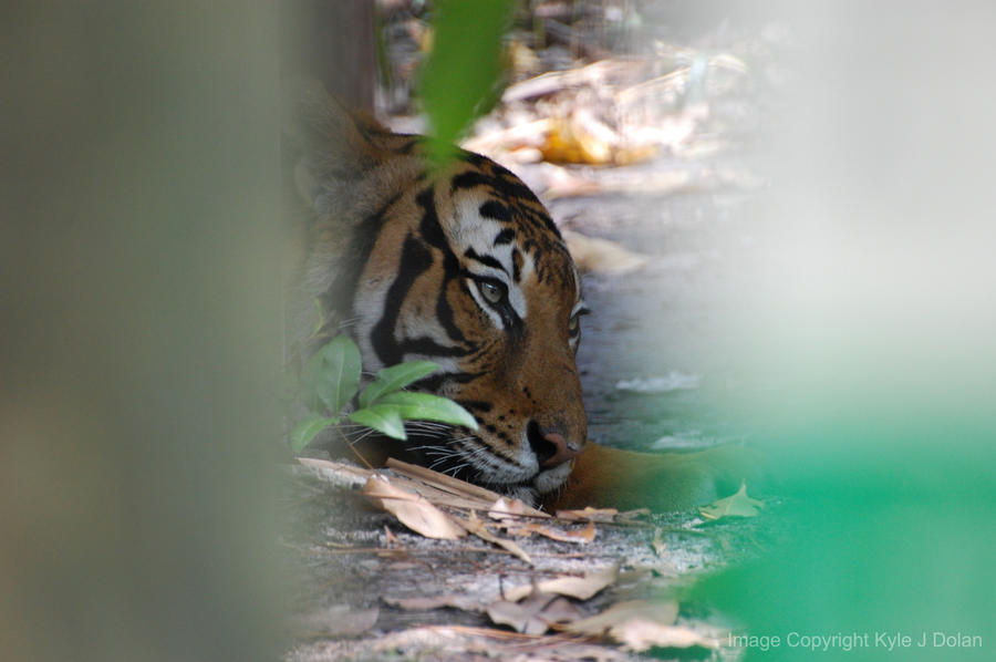 Tiger Resting by Focus-Fire