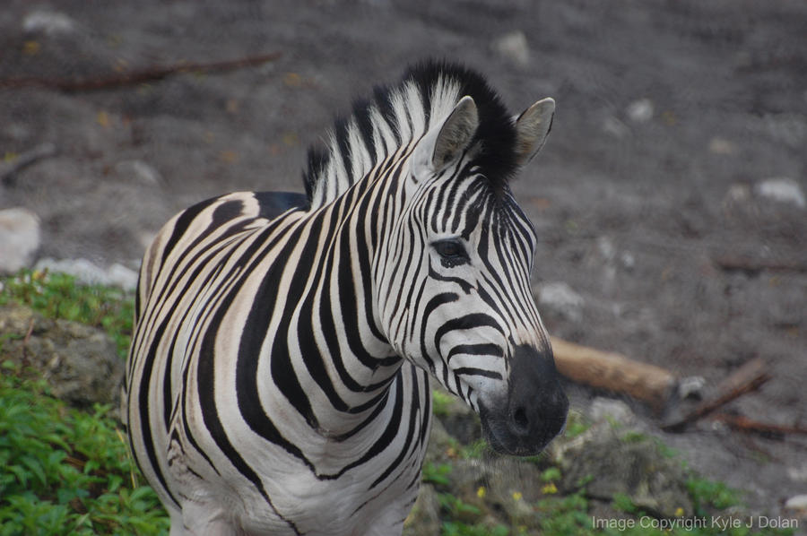 Zebra by Focus-Fire