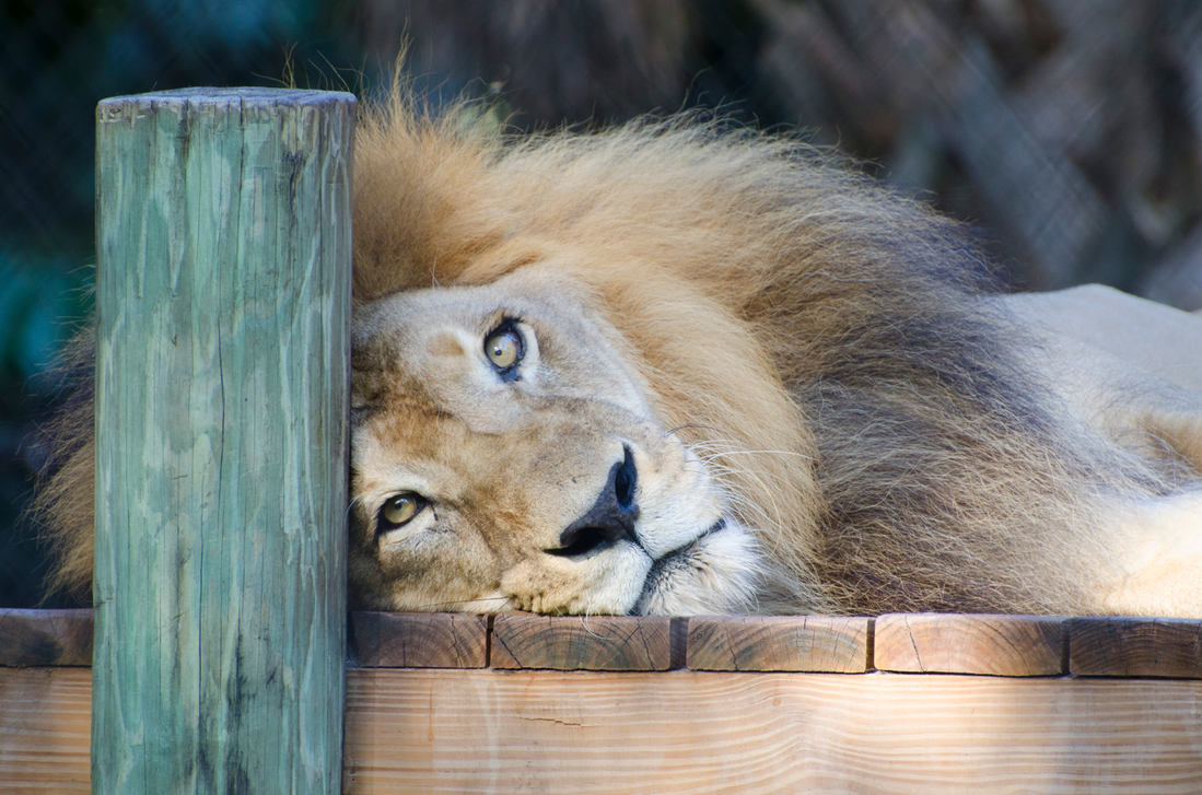 Lazy Lion is Lazy by Focus-Fire