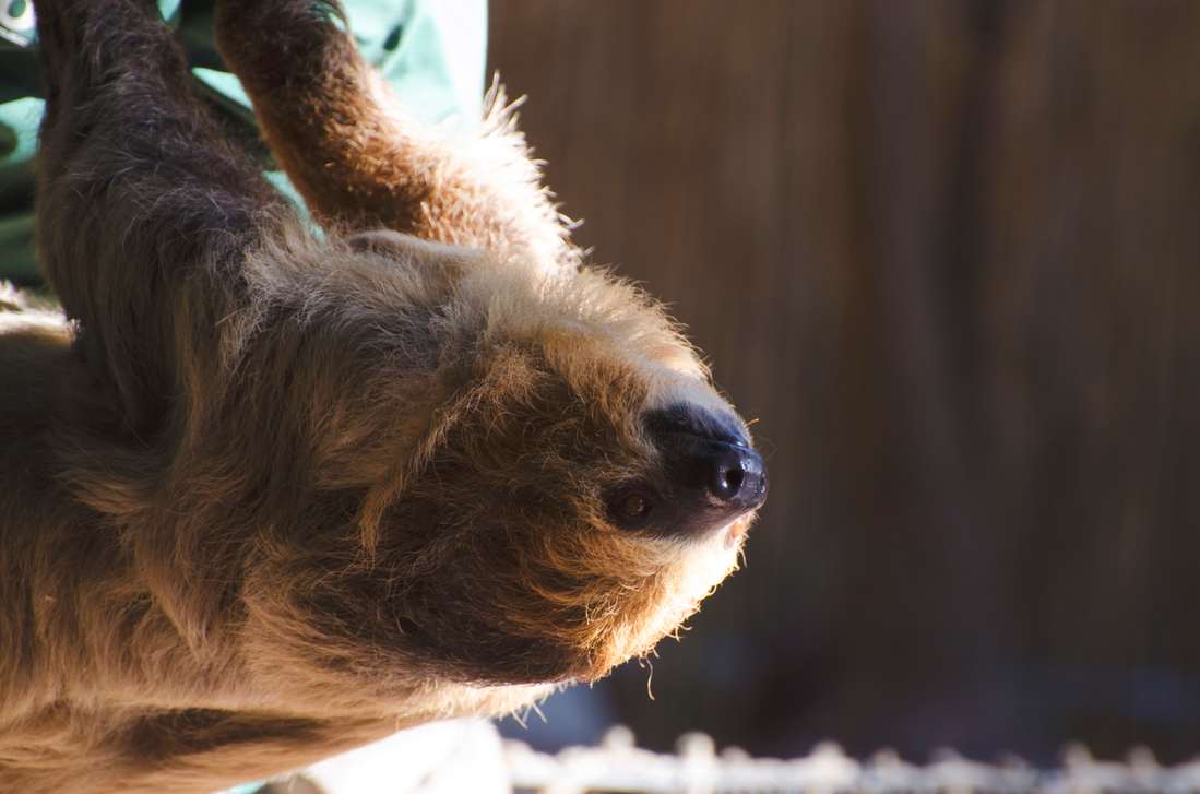 Two-toed sloth! by Focus-Fire