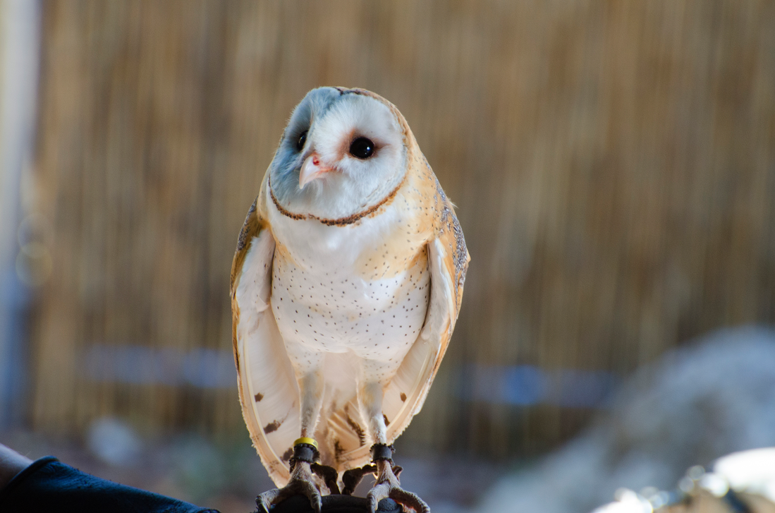 Barn Owl by Focus-Fire