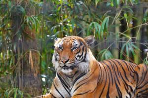 Tiger Jungle