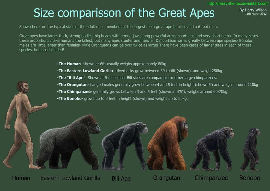 Great Ape Size Chart