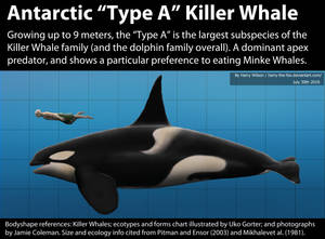Antarctic Type A Killer Whale Size
