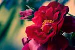 Red Flower by IG-Design