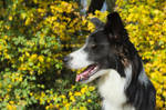 Balto, portrait with yellow leaves background