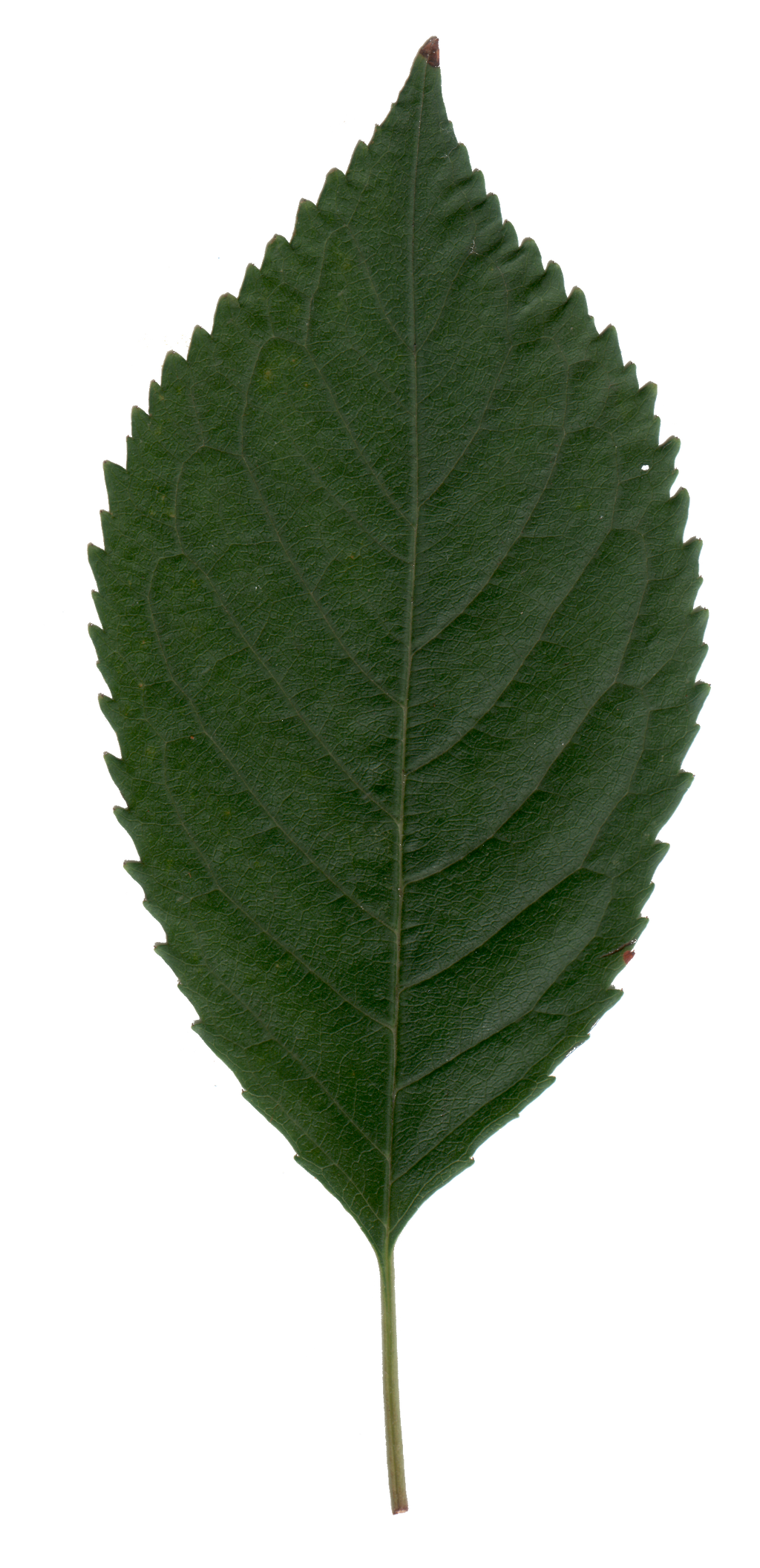 Cherry Leaf by BrianHanson2nd on DeviantArt