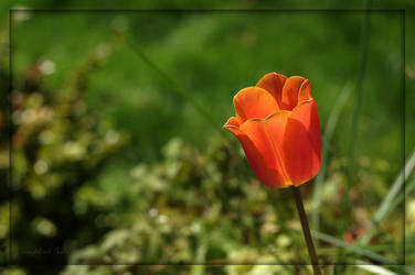 Lone Tulip by complineBelle