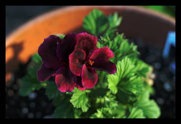 Painted geranium by complineBelle