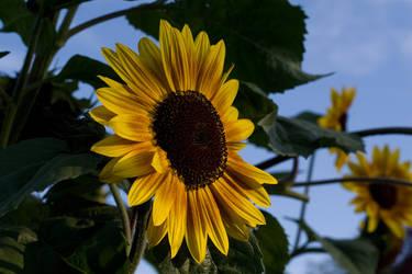 Sunflower Alert by complineBelle