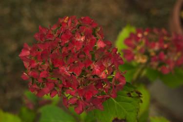 Scarlet Hydrangea by complineBelle