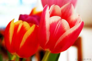 Tulipes III by LeScripte