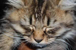 kitten by yoosh