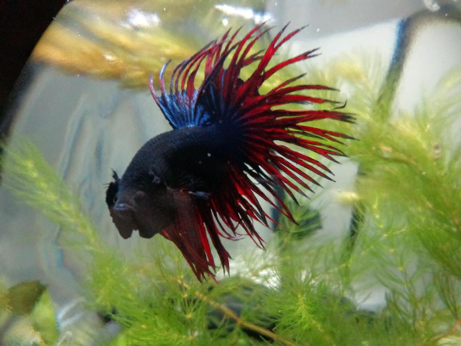 Samson walmart crowntail betta by sashy42 on deviantart for Walmart betta fish