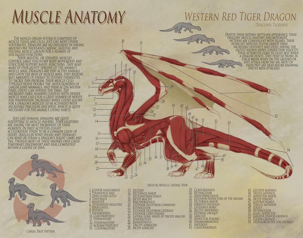 Dragon Anatomy - Muscle by UberKudzu on DeviantArt