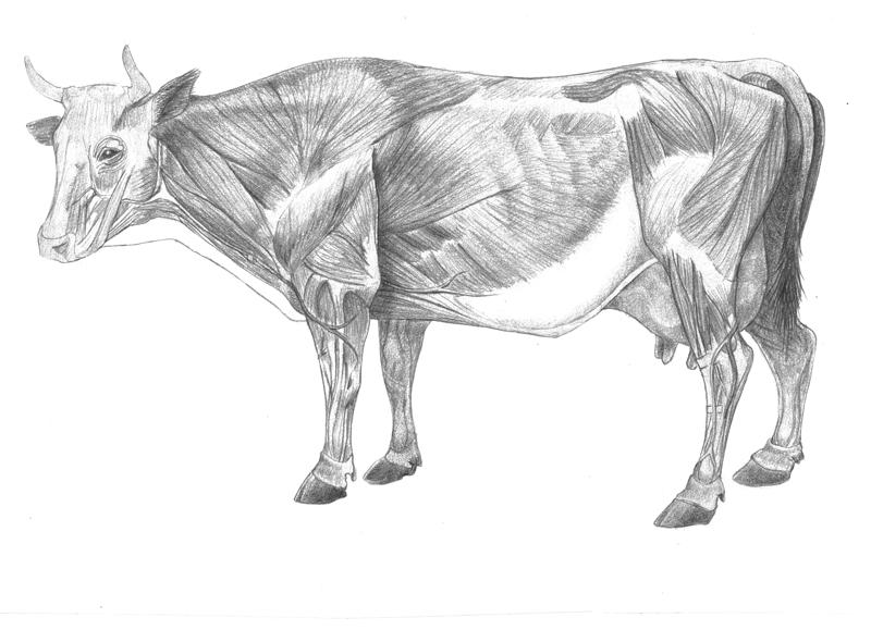 Cow Muscles By Uberkudzu On Deviantart