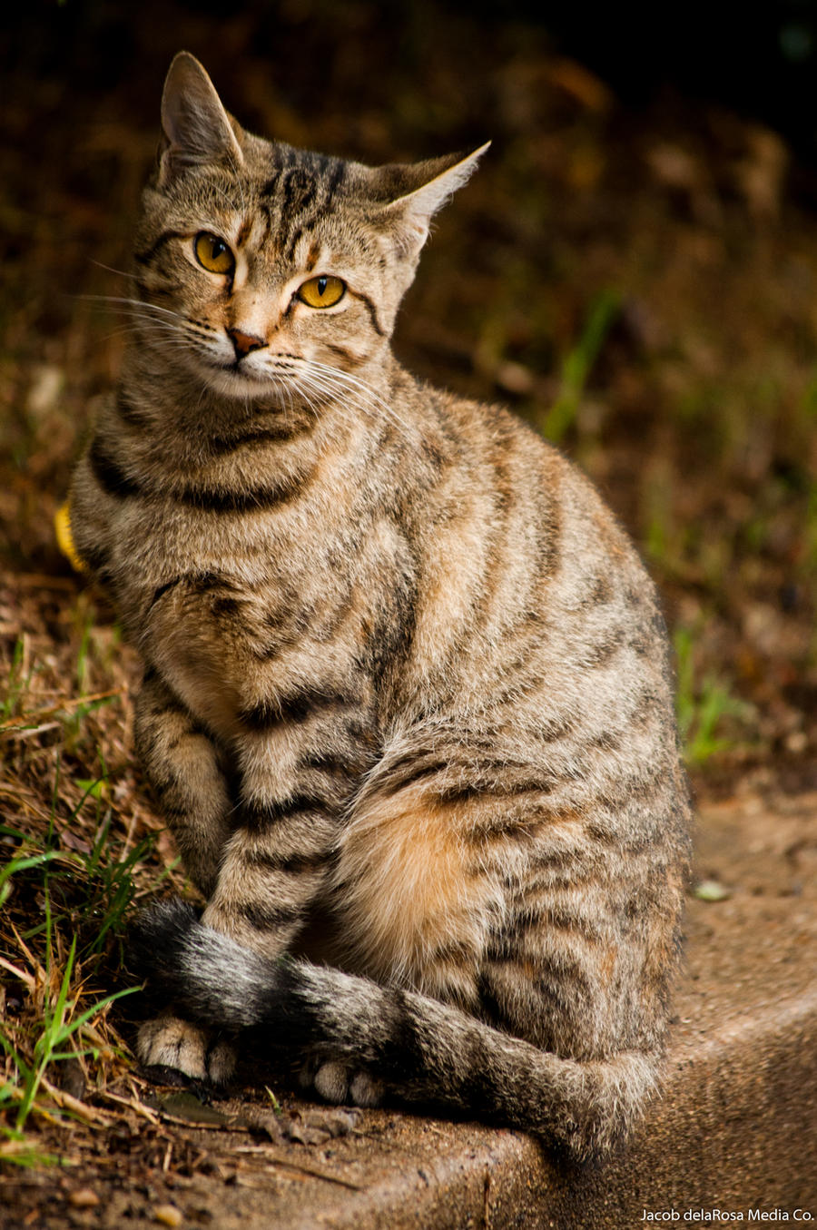Tawny Tabby Cat by jndphotography on DeviantArt