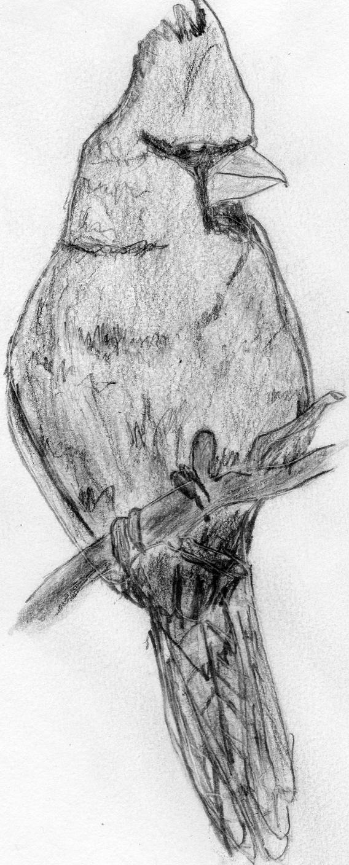 Cardinal Sketch By DaftHand On DeviantArt