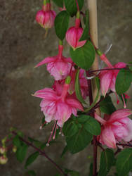 Fuschia - Pink Perfection
