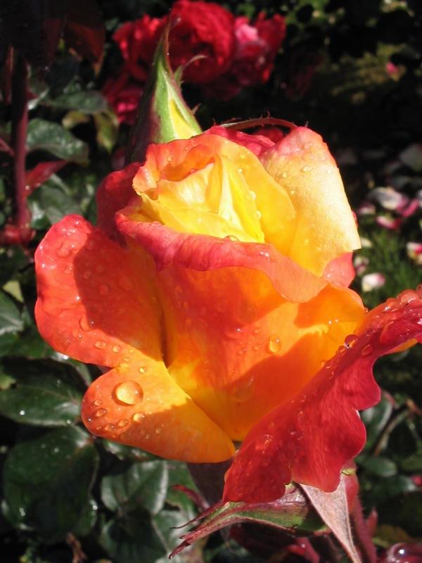 rosebud by petalouda1980