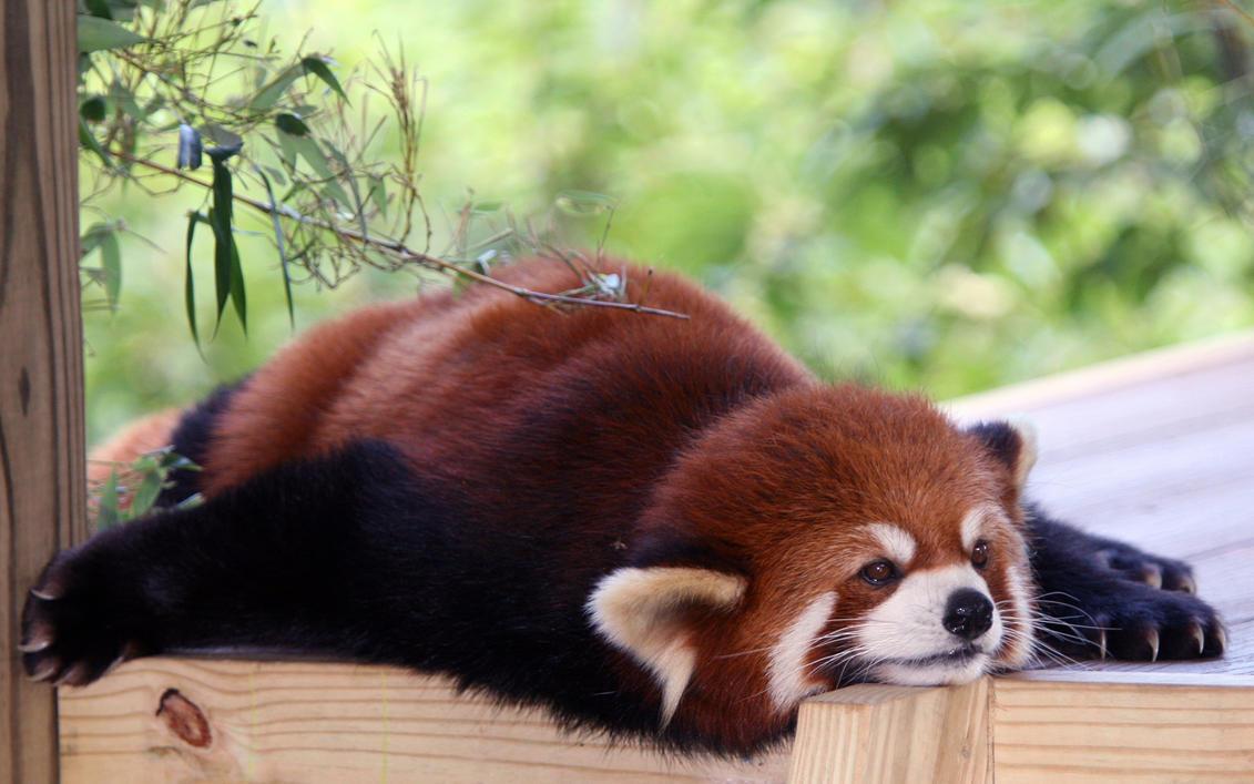 red panda just got - photo #6