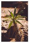 Cactus - Gran Canaria 2013