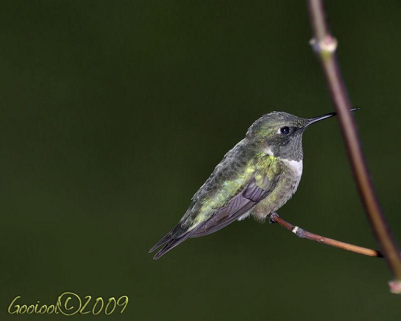 Hummingbird   2009 by Gooiool