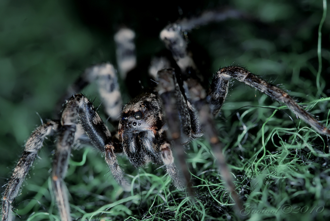 Wolf spider by Gooiool
