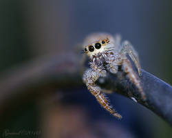 Jumping spider by Gooiool