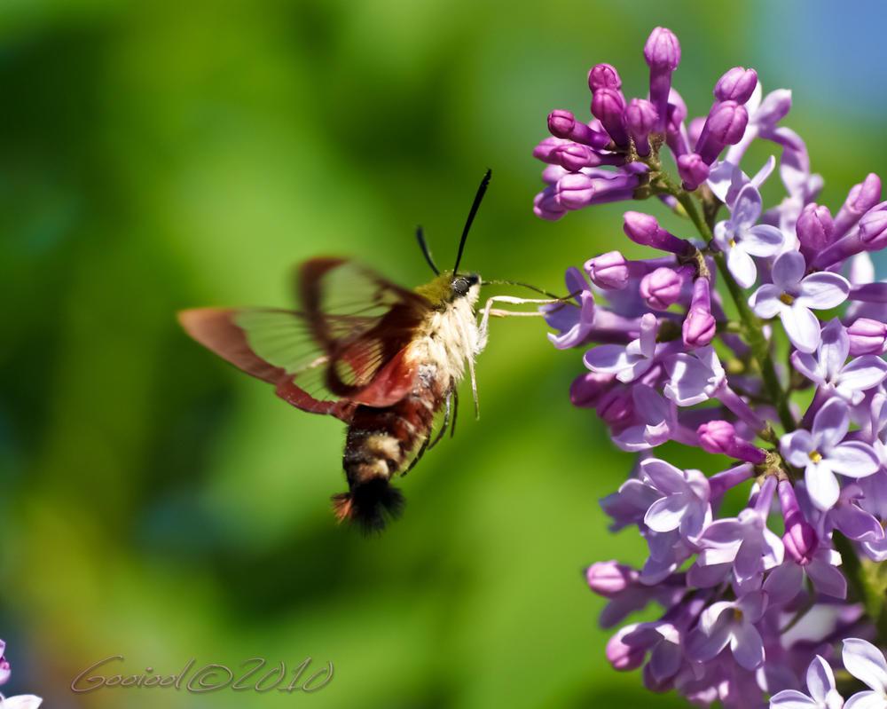 Hummingbird Moth 2010 by Gooiool