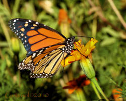 Monarch by Gooiool