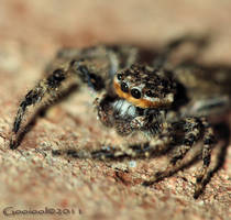 Jumping Spider 2011 by Gooiool