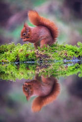 Red Squirell.
