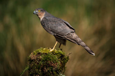Sparrowhawk. by gsphoto