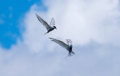 Terns. by gsphoto