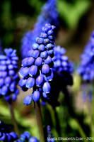 Grape Hyacinth by MissCole