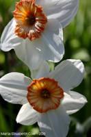 Unknown flower by MissCole