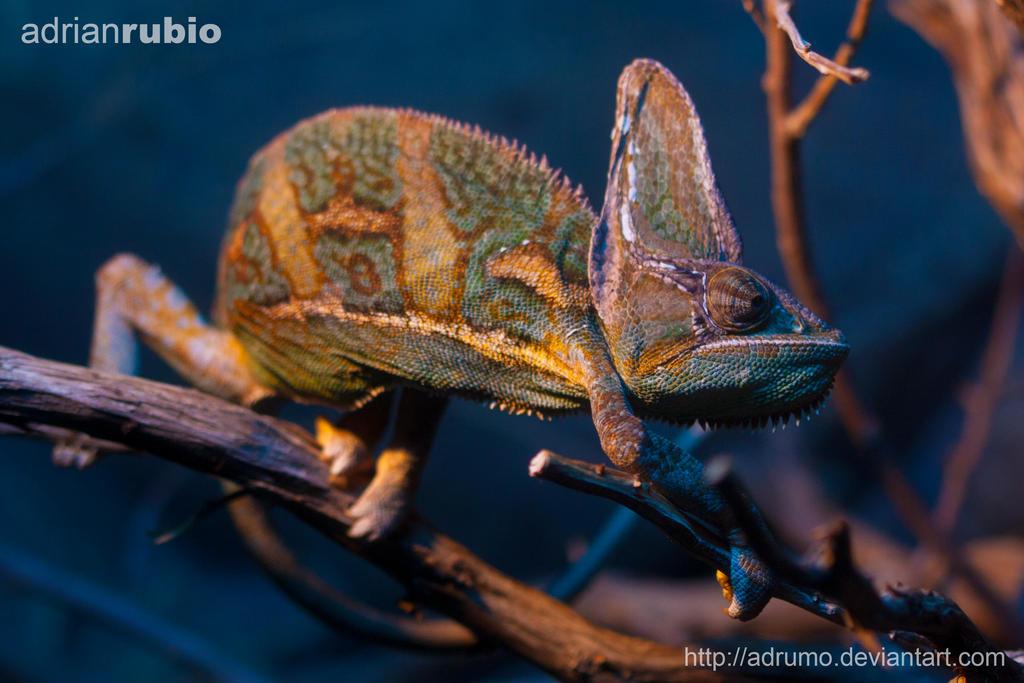 Chameleon by adrumo
