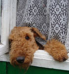 Airedale 20
