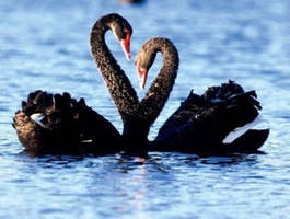 Black swans by lucky1208