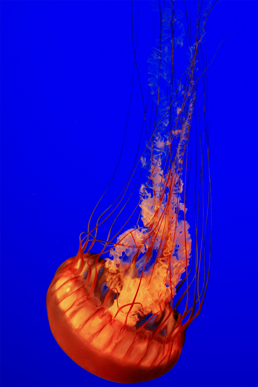 Jellyfish by ChibiLavos