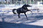black horse stock 12