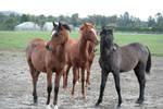 arabian foals 4