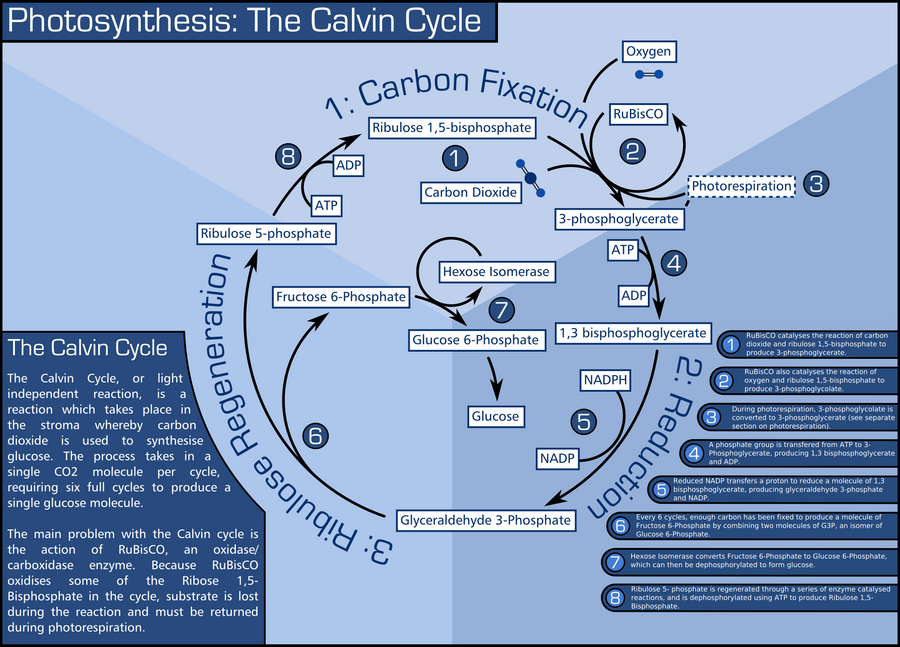 Calvin Cycle By Tdn169 On Deviantart