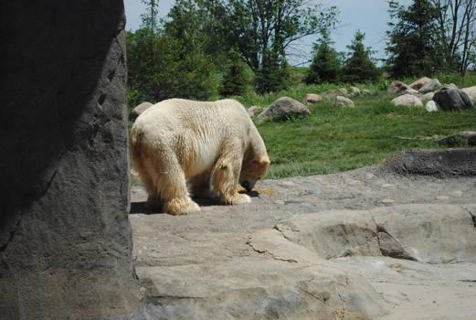 Polar Bear 10
