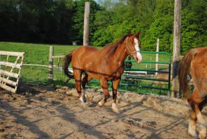 Quarter Horse 7