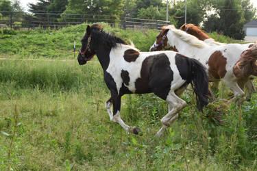 Quarter Horse 20